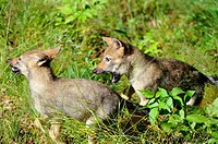 Two european grey wolf pup aged 2 months old playing Canis lupus captive, Bayerischerwald National Park, Germany
