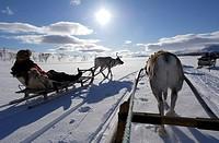 Reindeer sledding ecotourism tour, Sweden.