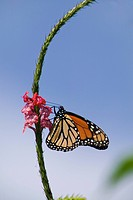 Butterfly on a flower, USA.