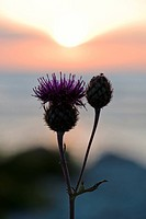 A thistle against the light, Sweden.