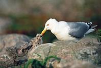 Herring gull feeding its young birds, Sweden.