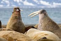Walrusses fighting, Spitsbergen, Svalbard, Norway.