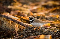 A Ringed Plover looking for food, Norway.