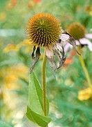 Echinacea seed heads in the Autumn butterfly garden