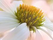 Echinacea purpurea ´White Swan´