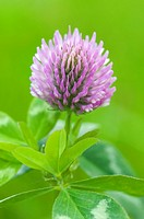 Extreme close up of red clover, Trifolium pratense, with limited depth of field