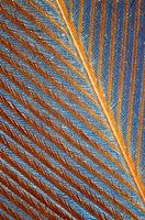 Extreme closeup of a feather chicken against a blue background