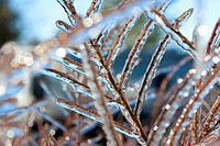 Oregon, United States Of America, Ice On Tree Branches In Mount Hood National Forest