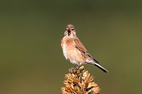 Eurasian Linnet Carduelis cannabina adult male, summer plumage, singing, perched on gorse bush, Staffordshire, England, june