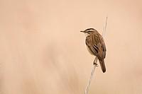 Sedge Warbler Acrocephalus schoenobaenus adult, perched on reed stem, Norfolk, England, june