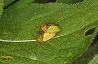 Tortoise Beetle Cassida vibex adult pair, mating on leaf, Norfolk, England, may