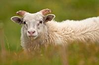 Icelandic sheep at peninsula of Vatnses  North Iceland