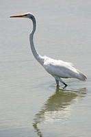 Great Egret, Ardea alba egretta, Garza blanca real, Laguna de Unare, Venezuela