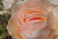 Pale pink rose Charance at rosery at Domaine de Charance, Gap, Haute Provence, France, Europe