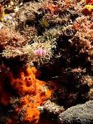 Flabellina affinis on a sponge