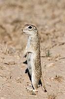 Spotted ground squirrel Spermophilus spilosoma, Pueblo West, Colorado.