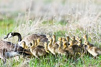 Large family of Canada Geese and Goslings in spring, Oak Hammock Marsh, Manitoba, Canada.