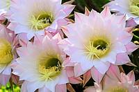 Blooming Cactus, Echinopsis