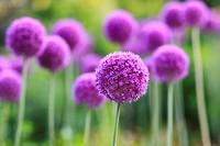 Purple Allium flowers. English Gardens, Assiniboine Park, Winnipeg, Manitoba, Canada.
