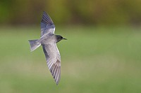 Black Tern Chilidonias niger flying over a pond in Manitoba, Canada.