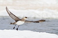 Parasitic Jaeger Stercorarius parasiticus perched on the ice in Churchill, Manitoba, Canada.