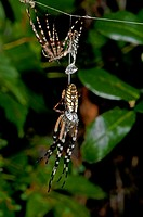 Writing spiders mating
