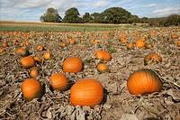 Pumpkins ripening in field for halloween
