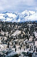 Cormorants on rocks near Beagle Channel and Bridges Islands, Ushuaia, southern Argentina