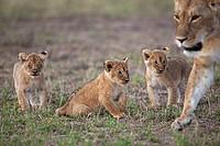 Lioness (Panthera leo) with playful 2-3 month old cubs, Maasai Mara National Reserve, Kenya