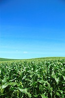 Close_up of corn field