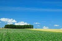 White potato flower field with trees in background