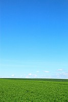 Carrot field against blue sky