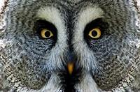 Great Grey Owl or Lapland Owl, Strix nebulosa, Portrait
