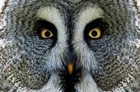 Great Grey Owl or Lapland Owl, Portrait, Strix nebulosa