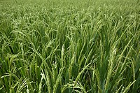 Rice grains ripening on stalk ready for harvest in a paddy field at Bali Indonesia