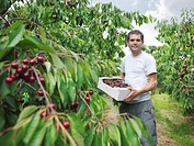 Man in orchard holding box of cherries