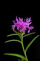 Perennial cornflower - Centaurea montana