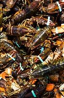 Many Fresh Lobster