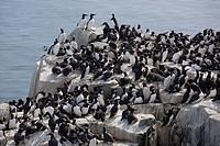 guillemot gathered on a rock, farne islands, northumberland, england