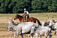 HERD OF MAREMMA COWS BEING LED TO PASTURE BY THE BUTTERI, ´TUSCAN COWBOYS´, AZIENDA REGIONALE AGRICOLA DI ALBERESE, THE ONLY FARM IN THE MAREMMA NATUR...