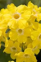 Calgary, Alberta, Canada, Yellow Primula Auricula Flowers