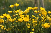 a field of yellow buttercups, northumberland, england