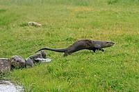 European Otter Lutra lutra order:carnivora family : mustelidae.