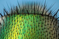 Microscopy as art  Detail of the abdomen of the greenbottle fly, lucilla caesar showing structure of hairs and metallic texture