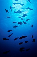 School of fish swimming in Elphinstone Reef, Red Sea, Egypt.