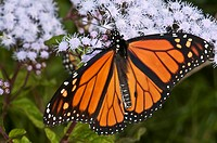 Monarch butterfly on blue Ageratum flowers