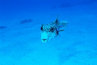 Close_up of a white spotted puffer, Okinawa, Japan