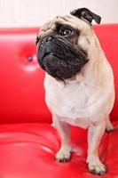 Pug in a sofa