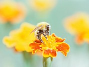 Bee on french marigold flower