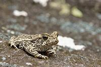 Toad, Nature, Serra do Mar State park, Núcleo Santa Virgínia, São Paulo, Brazil